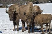 European bison on snow — Stock Photo