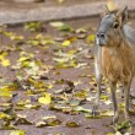 Capibara — Stock Photo #65198583