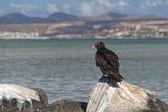 Buzzard red head on the sea rocks — Stock Photo