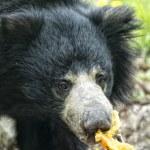 Sloth black asian bear — Stock Photo #66255149
