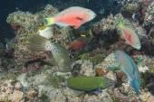 Harlequin filefish — Stock Photo