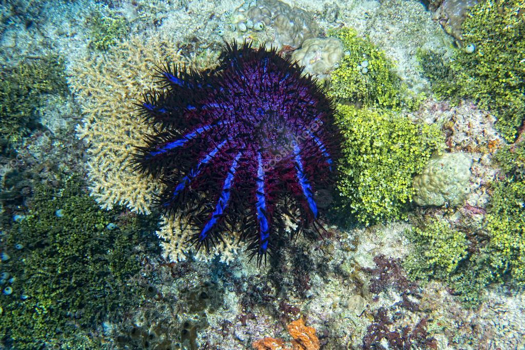 морская звезда терновый венец
