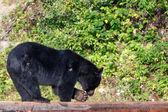 Orso nero mentre si mangia con scoiattolo — Foto Stock