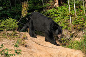 Black bear while eating — Stock Photo