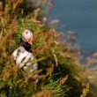 Puffin portrait on the blue sea background — Stock Photo #71349201