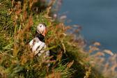 青い海の背景の puffin の肖像画 — ストック写真