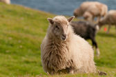 Sheep on the faer oer mykines cliffs  — Stock Photo