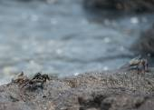 Crab on the lava rocks in hawaii — Stock Photo