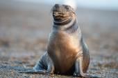 Lew morski na plaży w Patagonii — Zdjęcie stockowe
