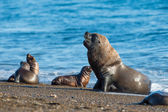 Male sea lion seal portrait on the beach — Stock Photo