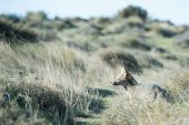 Grey fox hunting on the grass — Stock Photo