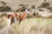 Guanaco portrait in Argentina Patagonia — Stock Photo
