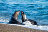 Sea lion on the beach in Patagonia — Stock Photo