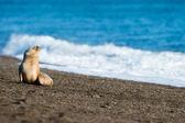 Szczeniak lew morski na plaży w Patagonii — Zdjęcie stockowe