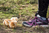 Chicks in a farm with girl shoe — Stock Photo
