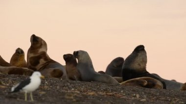 Sea lion seal on the beach — Stockvideo