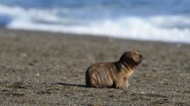 Sea lion seal on the beach — Stok video