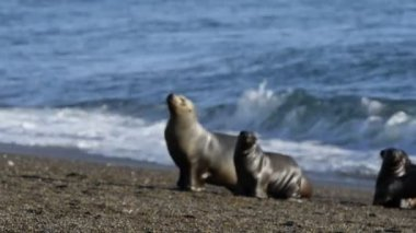Sea lion seal on the beach — Stock Video