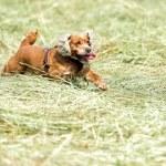 Dog puppy cocker spaniel jumping — Stock Photo #74541569