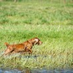 Dog puppy cocker spaniel jumping — Stock Photo #74541913
