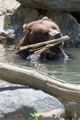 Bear brown grizzly playing in the water — Stock Photo