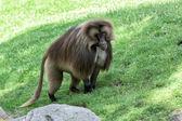 Gelada baboon monkey ape portrait — Stock Photo