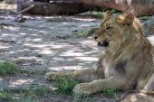 African female lion close up — Stock Photo