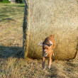 Dog puppy cocker spaniel jumping from wheat ball — Stock Photo #77829596