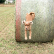 Dog puppy cocker spaniel jumping from wheat ball — Stock Photo #77829746