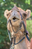 Dromedar Camel portrait near Bedouin Oasis — Stock Photo