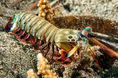 Mantis Lobster defending eggs — Stock Photo