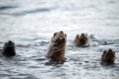 Sea lion family on the beach in Patagonia — Stock Photo