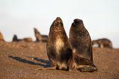 Sjölejon på stranden i Patagonien — Stockfoto