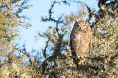Grey owl portrait while looking at you — Stock Photo