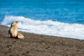 Baby sea lion on the beach in Patagonia — Stock Photo