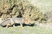 Grå rävjakt på gräset — Stockfoto