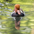Pochard red crested duck — Stock Photo #80620332