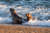 Baby newborn sea lion on the beach in Patagonia — Stock Photo