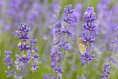 Lawenda i motyl — Zdjęcie stockowe