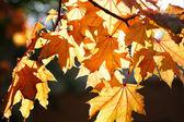 Beautiful autumn season - leaves in golden light — Stock Photo