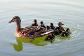Duck with ducklings swimming on lake — Stock Photo