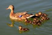 Duck and ducklings on pond — Stock Photo