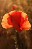 Poppy in field at sunset backlight close-up — Stock Photo