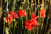 Blooming red poppies in the field use as background — Stock Photo