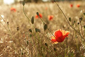 Red poppies in field - beauty in nature — Stock Photo