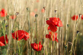 Red poppies in field — Stock Photo