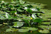 Water Lily - clean ecology — Stock Photo