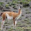 Guanaco - Lama guanicoe - Torres del Paine - Patagonia - Chile — Stock Photo #69731739