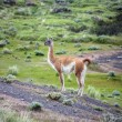 Guanaco - Lama guanicoe - Torres del Paine - Patagonia - Chile — Stock Photo #69732175