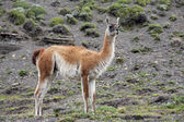 Guanaco - Lama guanicoe - Torres del Paine - Patagonia - Chile — Stock Photo
